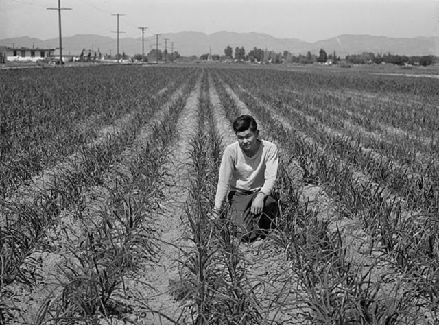 Los Angeles County, California, April 1942. A farmer of Japanese descent in his onion field.  He and other farmers sold their unharvested crops before being sent away under President Roosevelt's Executive Order 9066 (Photograph by Russell Lee for the Farm Security Administration - Office of War Information / Courtesy of the Library of Congress (Digital ID FSA 8c31997))