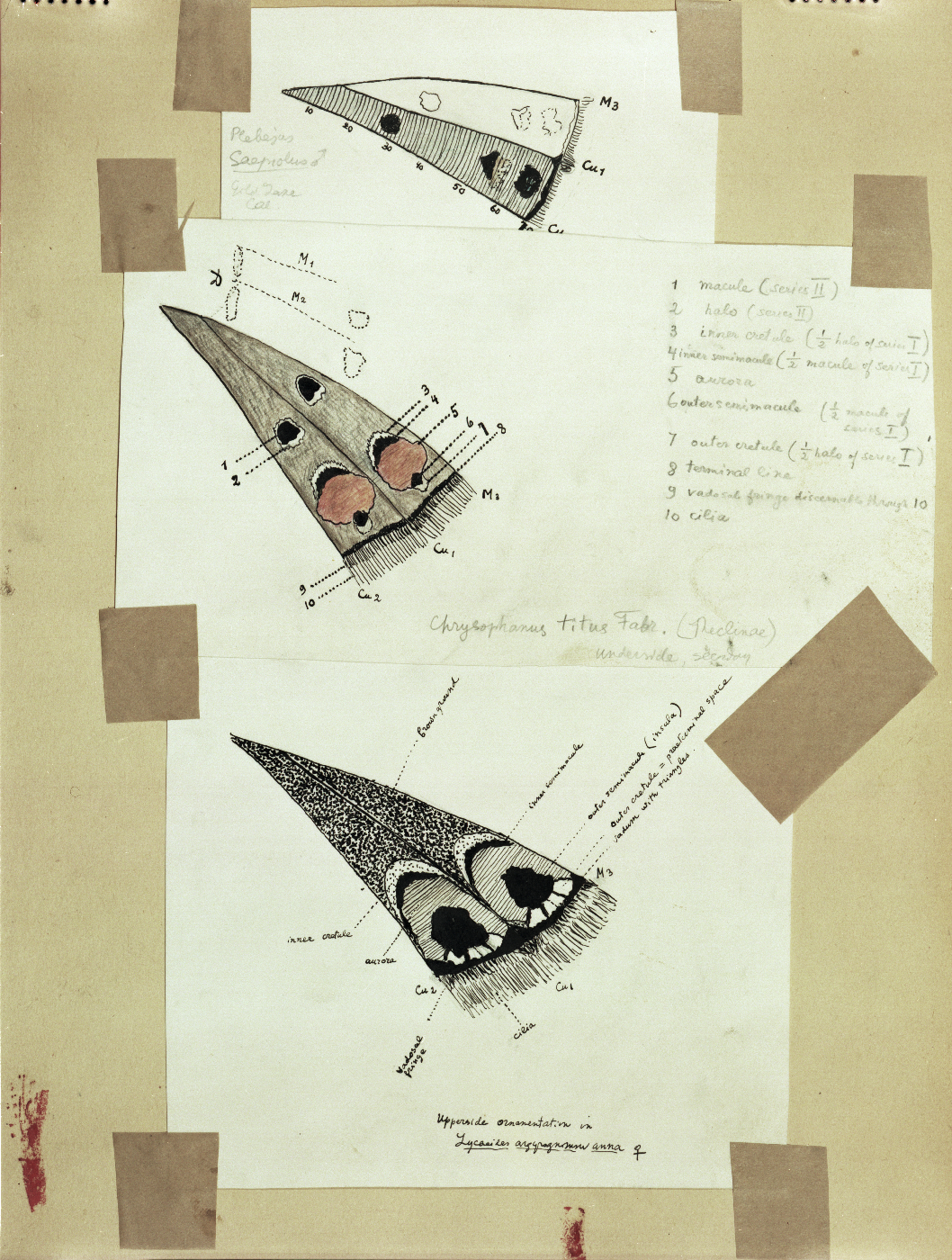Color Plate 56, comparative maculation schematics of Cells M3 and CuA1 on the undersurface hind wing of three taxa (© Vladimir Nabokov. courtesy of the Vladimir Nabokov Archive at the Berg Collection, New York Public Library, used by permission of the Wylie Agency LLC)