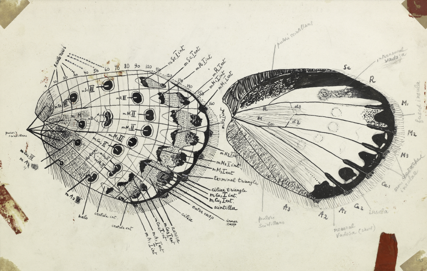 Figure 90 [A detailed wing schematic] (© Vladimir Nabokov. courtesy of the Vladimir Nabokov Archive at the Berg Collection, New York Public Library, used by permission of the Wylie Agency LLC)