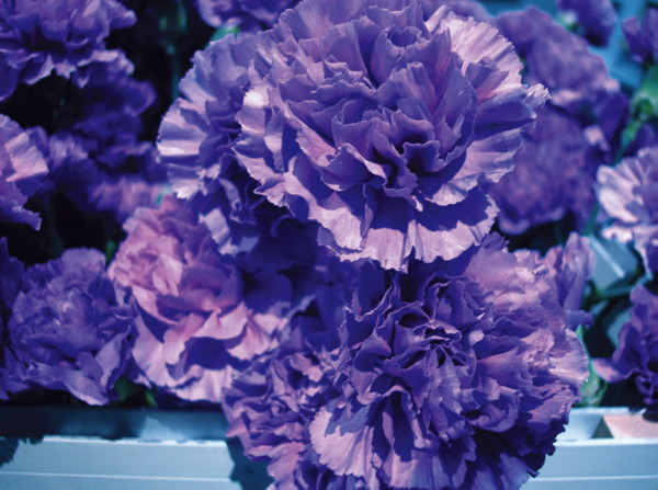 "BCL, ""Common Flowers"""
