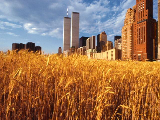 """Agnes Denes, """"Wheatfield — A Confrontation"""" (1982), two acres of wheat planted and harvested in Battery Park landfill, Manhattan, New York (© Agnes Denes, via theecologist.org)"""