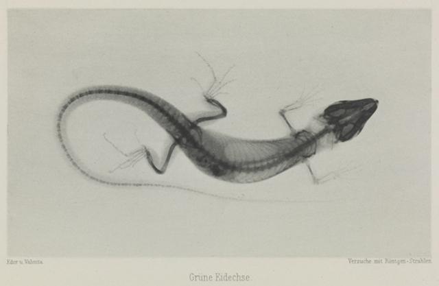 Grüne Eidechse, 1896, Eduard Valenta and Josef Maria Eder © National Media Museum, Bradford