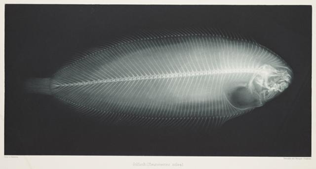 Solfisch (Pleuronectes Solea), 1896, Eduard Valenta and Josef Maria Eder © National Media Museum, Bradford