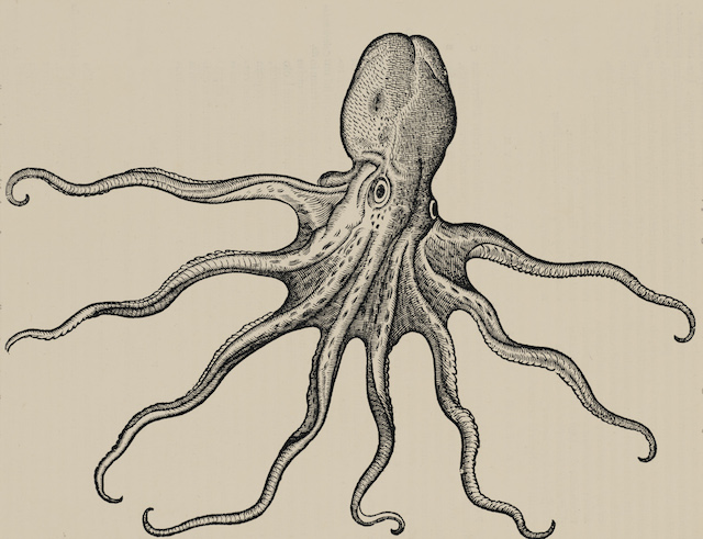 Octopus From Conrad Gessner's Historia animalium (1551-1558), this octopus engraving is a remarkably good likeness—except for the depiction of round, rather than slit-shaped, pupils—indicating the artist clearly did not draw from a live specimen. © AMNH\D. Finnin
