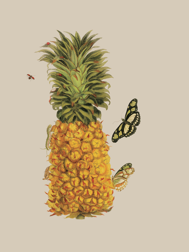 Pineapple with Caterpillar In Metamorphosis insectorum Surinamensium…(1719), German naturalist and artist Maria Sibylla Merian documented the flora and fauna she encountered during her two-year trip to Surinam, in South America, with her daughter. Here she creatively depicts a pineapple hosting a butterfly and a red-winged insect , both shown in various stages of life. © AMNH\D. Finnin