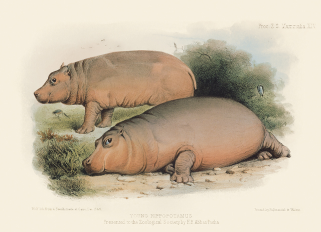 Young Hippo This image from the Zoological Society of London provides two views of a young hippo in Egypt before being transported to the London Zoo. Joseph Wolf (1820–1899) based the image on a sketch made by the British Consul on site in Cairo.  © AMNH\D. Finnin