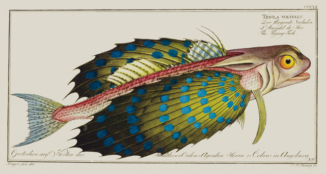 Flying Gurnard Allgemeine Naturgeschichte der Fische (General natural history of fishes), a 12-volume encyclopedia by author/illustrator Marcus Elieser Bloch (1723-1799), described all fish species then known to science (and 267 previously unknown) including this colorful flying gurnard (Trigla volitans), which seems to be captured mid-swim.   © AMNH\D. Finnin