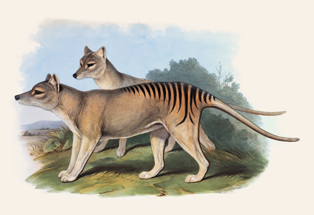 """Tasmanian Tiger English ornithologist and taxidermist John Gould's images and descriptions for the three-volume work The mammals of Australia (1863) remain an invaluable record of Australian animals that became increasingly rare with European settlement. The """"Tasmanian tiger"""" pictured here was actually a thylacine (Thylacinus cynocephalus), the world's largest meat-eating marsupial until going extinct in 1936.  © AMNH\D. Finnin"""