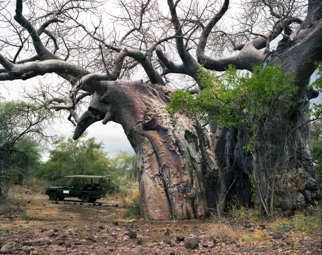Pafuri Baobab #0707-1335 (Up to 2,000 years old; Kruger National Park, South Africa)  This baobab lives in the Kruger Game Preserve in South Africa and requires an armed escort to visit. Baobabs get pulpy at their centers and tend to hollow out as they grow older. These hollows can serve as natural shelters for animals, but have also been appropriated for some less scrupulous human uses: for instance, as a toilet, a prison, and a bar.