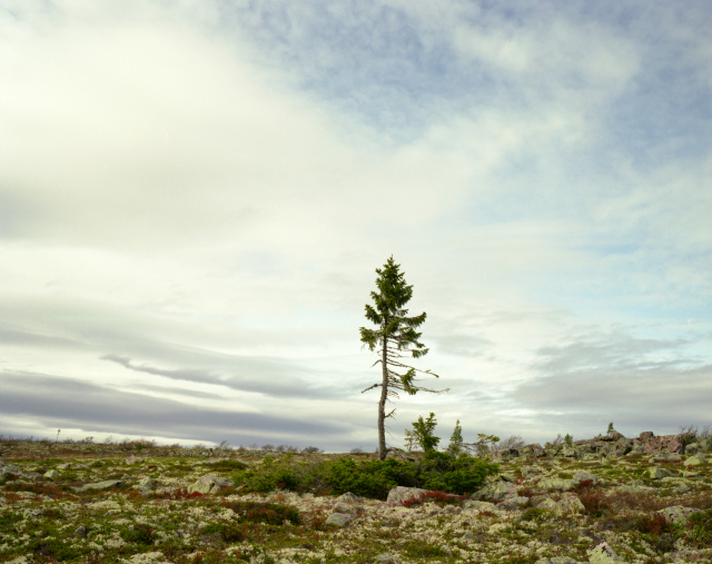 Spruce Gran Picea #0909 – 11A07 (9,550 years old; Fulufjället, Sweden) This 9,950-year-old tree is like a portrait of climate change. The mass of branches near the ground grew the same way for roughly 9,500 years, but the new, spindly trunk in the center is only 50 or so years old, caused by warming at the top of this mountain plateau in Western Sweden.
