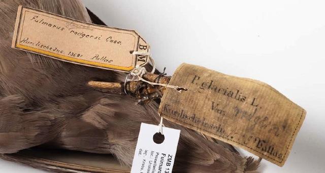 Fulmarus glacialis rodgersii (Linnaeus, 1761), Museum für Naturkunde Berlin (via OpenUp)