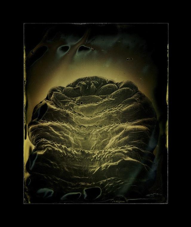 "Marcus DeSieno, ""Dermatobia hominis (larva),"" Archival Pigment Print from Dry Plate Gelatin Ferrotype"