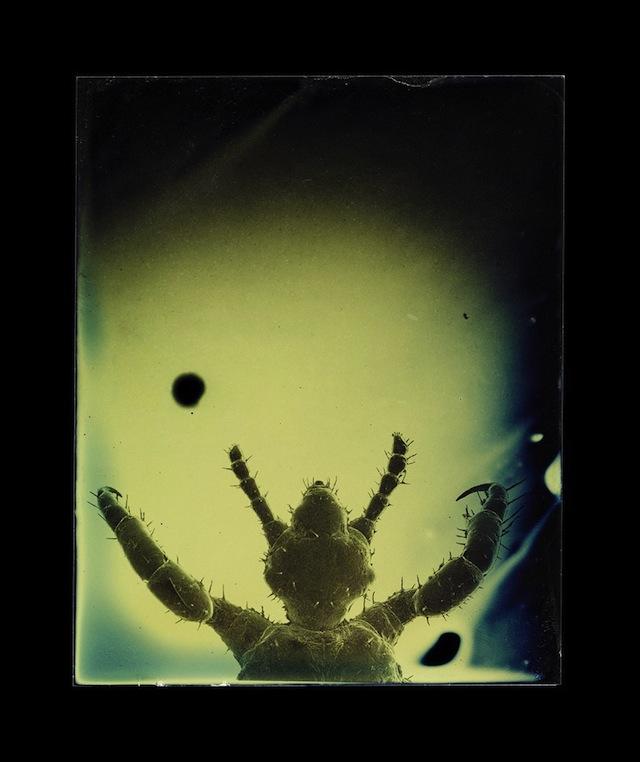 """Marcus DeSieno, """"Pediculus humanus capitis,"""" Archival Pigment Print from Dry Plate Gelatin Ferrotype"""