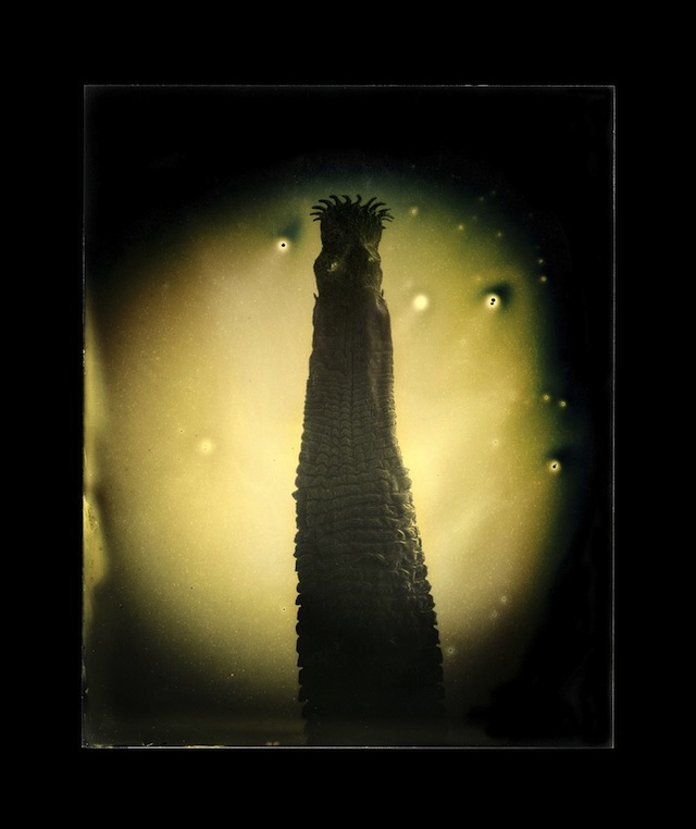 """Marcus DeSieno, """"Taenia solium,"""" Archival Pigment Print from Dry Plate Gelatin Ferrotype"""