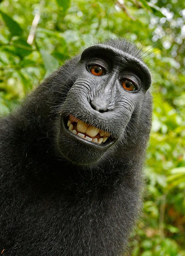 The infamous Macaca Nigra selfie (via Wikimedia)