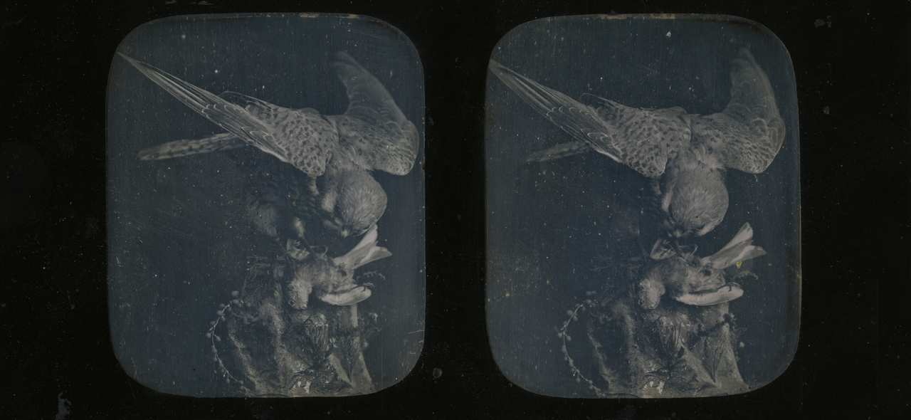 Unknown photographer, Owl and its Prey, Still Life (1850), stereoscopic daguerreotype