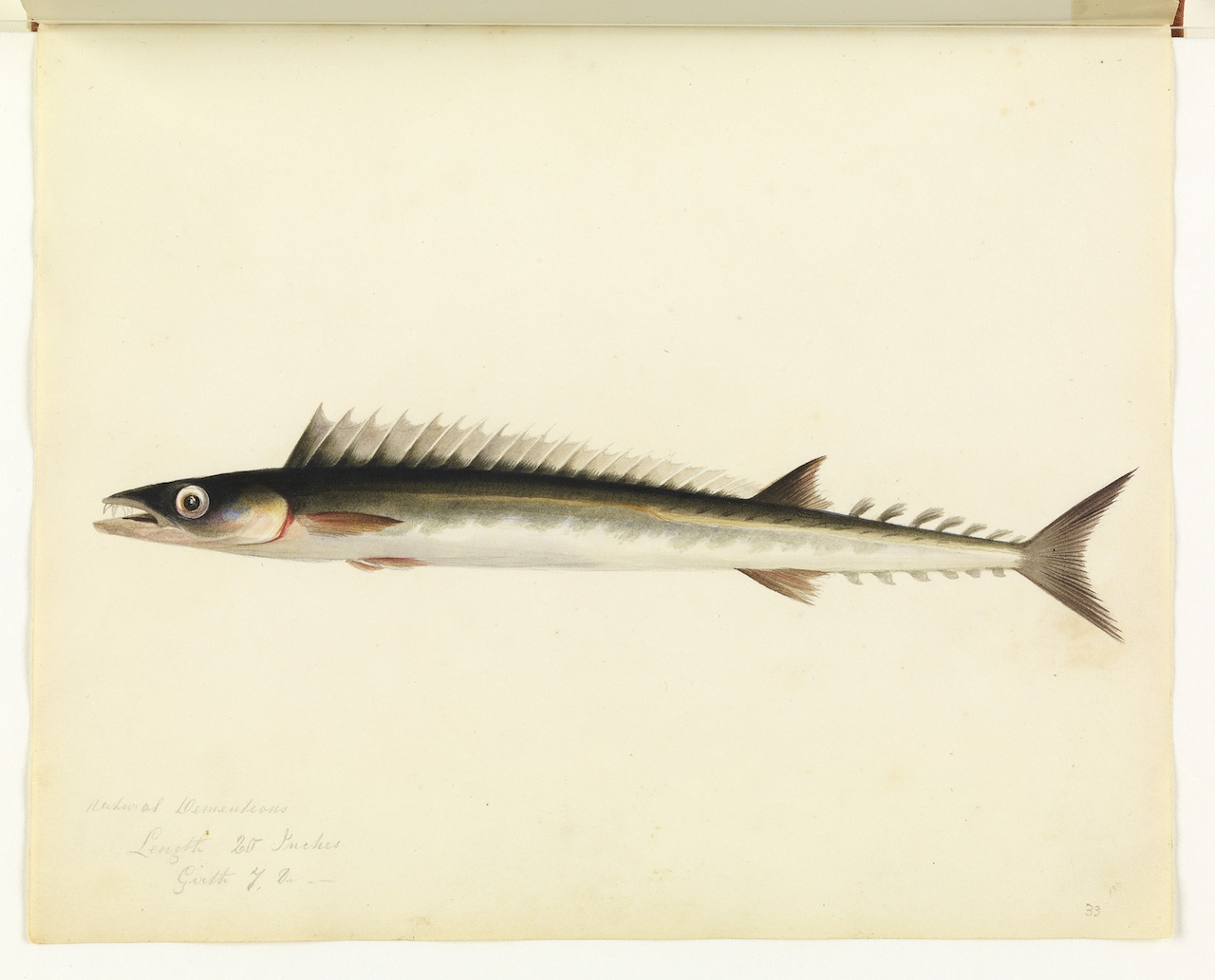 """William Buelow Gould, """"Barracouta"""""""