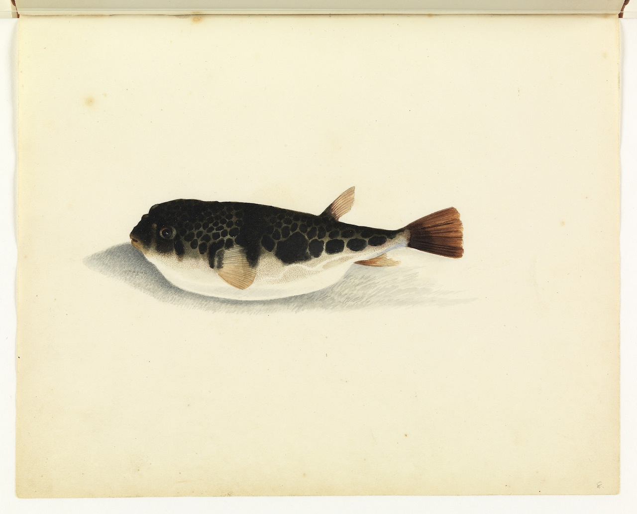 """William Buelow Gould, """"Toad fish"""""""