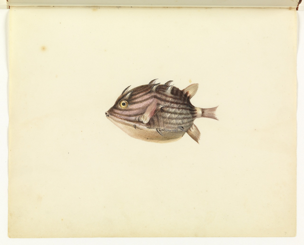 """William Buelow Gould, """"Cow or coffer fish"""""""