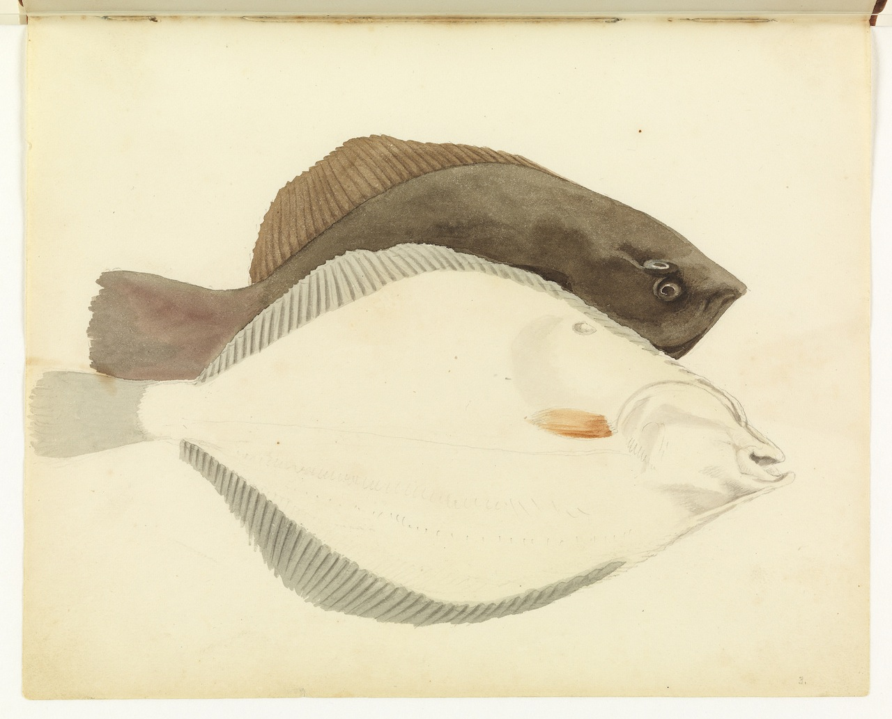 """William Buelow Gould, """"Flounder, unfinished views"""""""