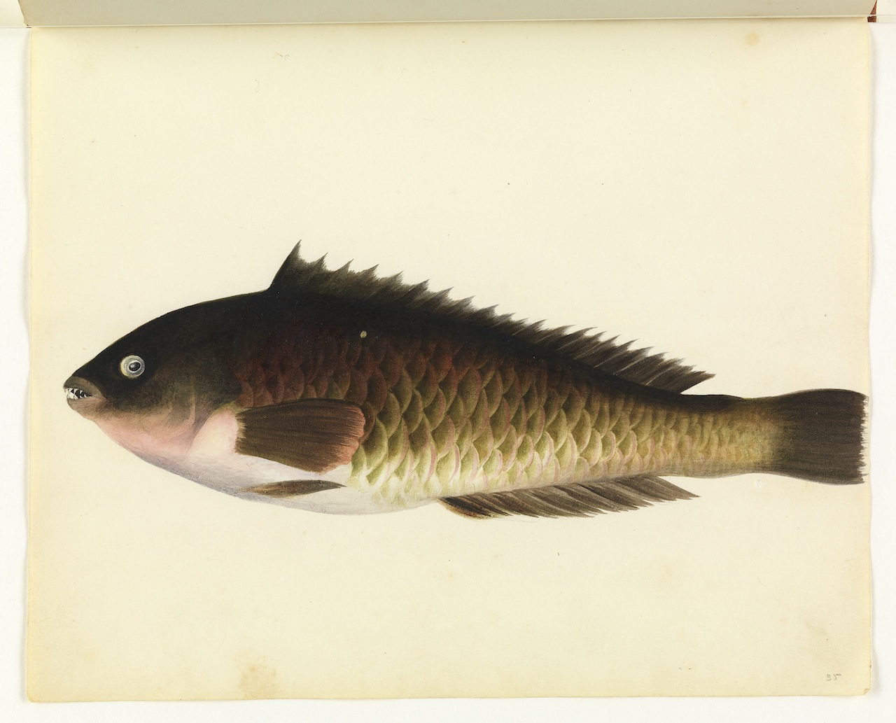 """William Buelow Gould, """"Parrot fish"""""""