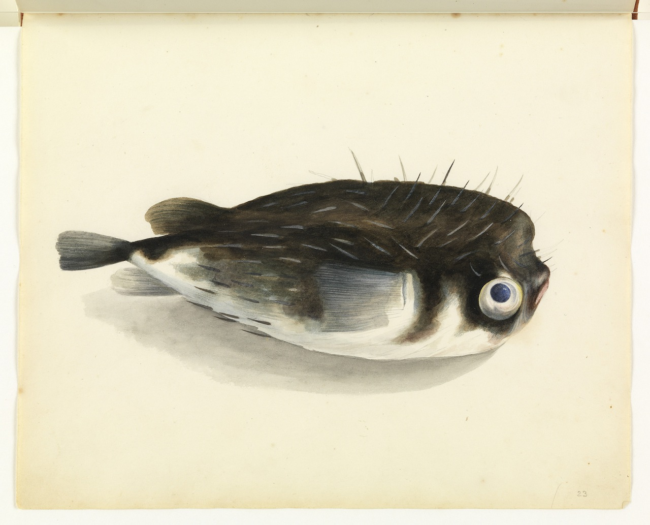 """William Buelow Gould, """"Porcupine fish"""""""