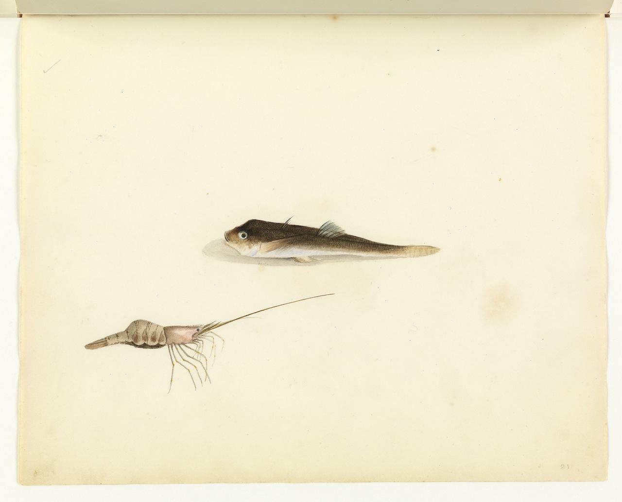 "William Buelow Gould, ""Shrimp & unidentified fish"""