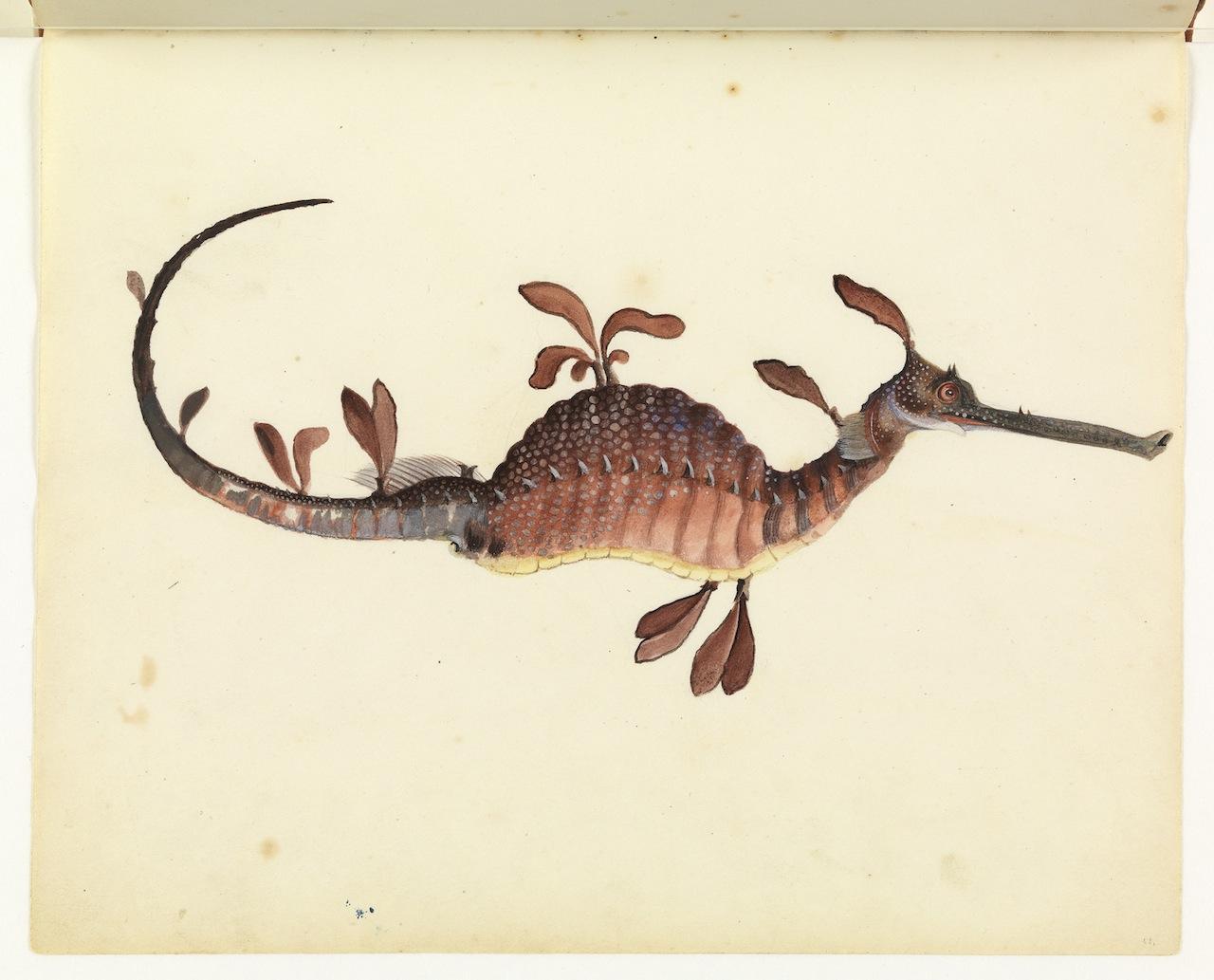 """William Buelow Gould, """"Leafy sea dragon"""""""