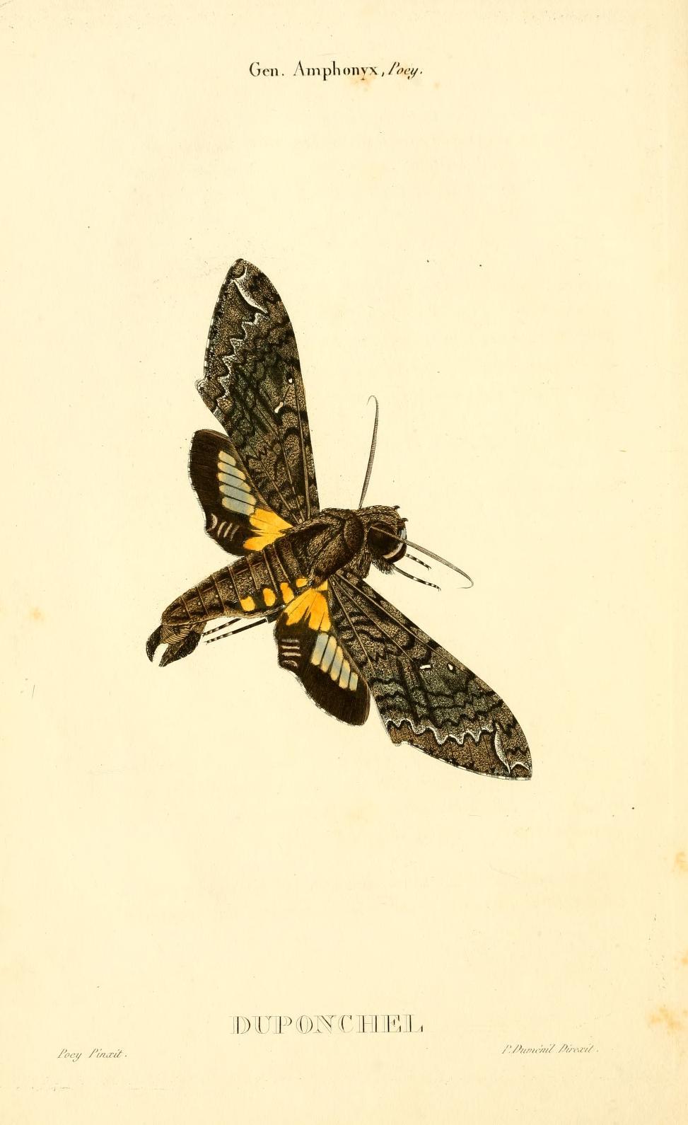 """Duponchel's Sphinx (Amphonyx duponchel) from """"Centurie de lépidoptères de l'île de Cuba"""", written by Felipe Poey"""