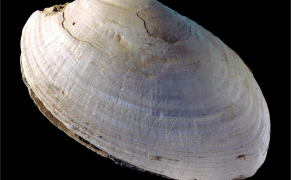 Post image for The World's Oldest Art May Be This 430,000-Year-Old Zigzag on a Shell