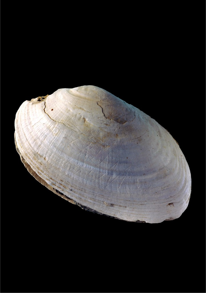 The mussel shell found in Indonesia scratched with a zigzag believed made by Homo erectus, which would make it the oldest art (courtesy Wim Lustenhouwer, VU University Amsterdam)