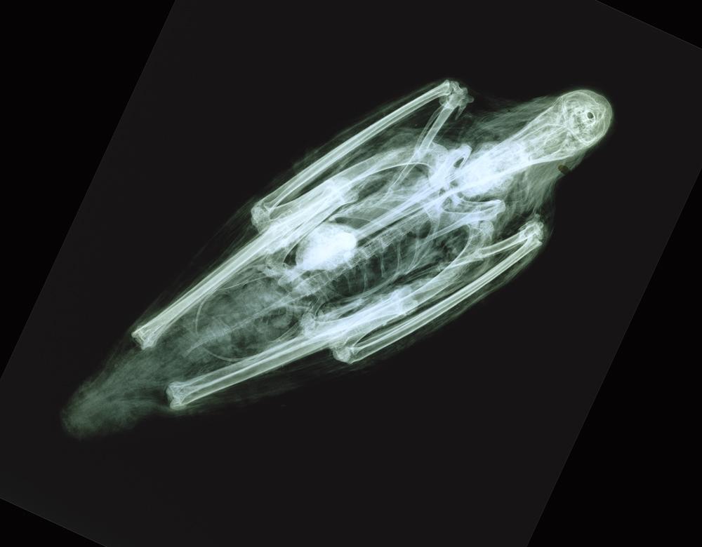X-ray of Ibis Mummy (Brooklyn Museum, 14.651)