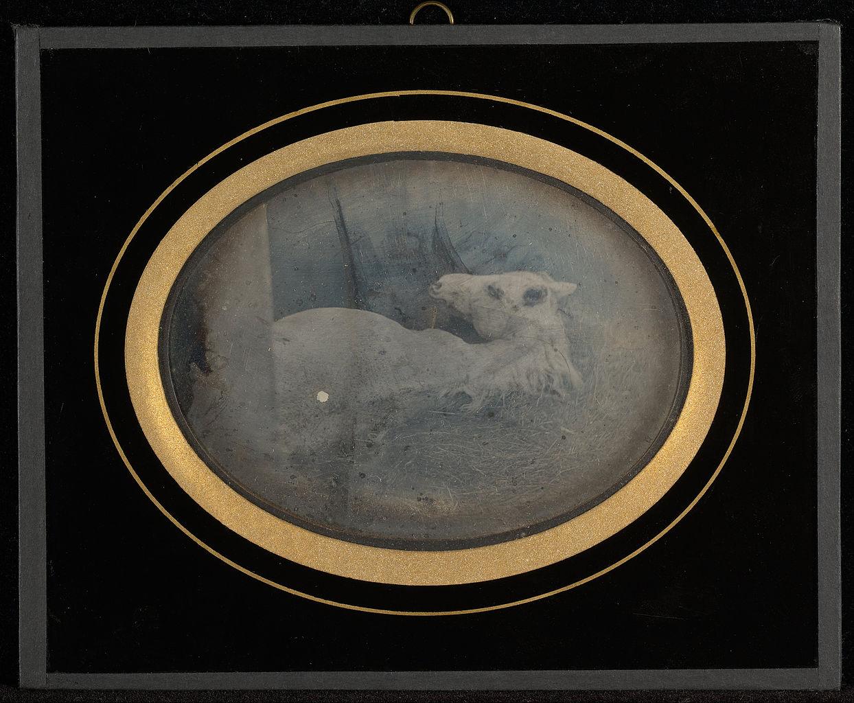 """Jean-Gabriel Eynard, """"Study of a white foal"""" (1845), daguerreotype (J. Paul Getty Museum, via Wikimedia)"""