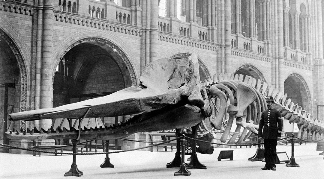 A sperm whale skeleton in Hintze Hall in 1901 (via London Natural History Museum)