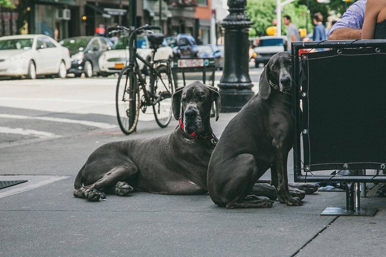 Dogs in Greenwich Village