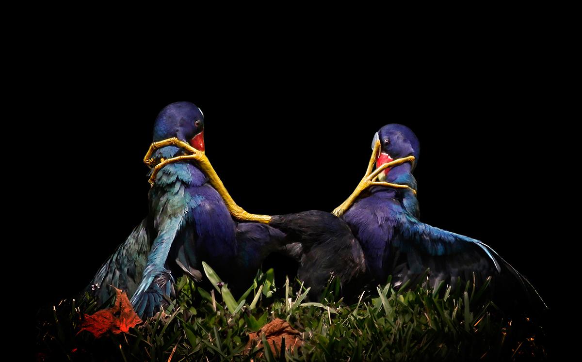 Sfw_MaryAngelaLuzader_PurpleGallinules_FineArt