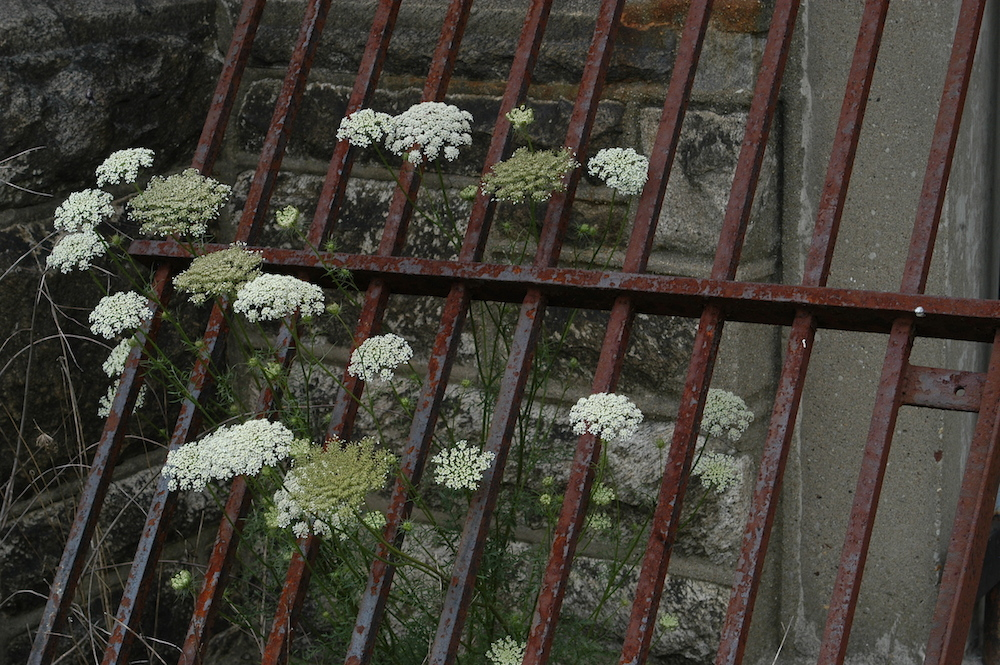 Queen Anne's Lace growing behind bars at Eastern State Penitentiary (photo by Greg Cowper)