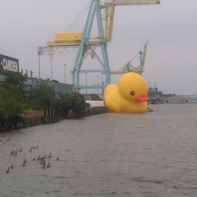 "An unauthorized version of Florentijn Hofman's ""Rubber Duck"" runs aground at Tall Ships Philadelphia Camden. (photo by Moises Figueroa Ramirez/Instagram)"