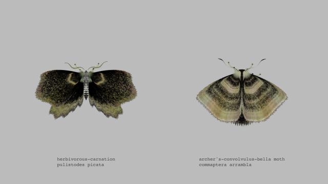 archer's-convolvulus-bella moth