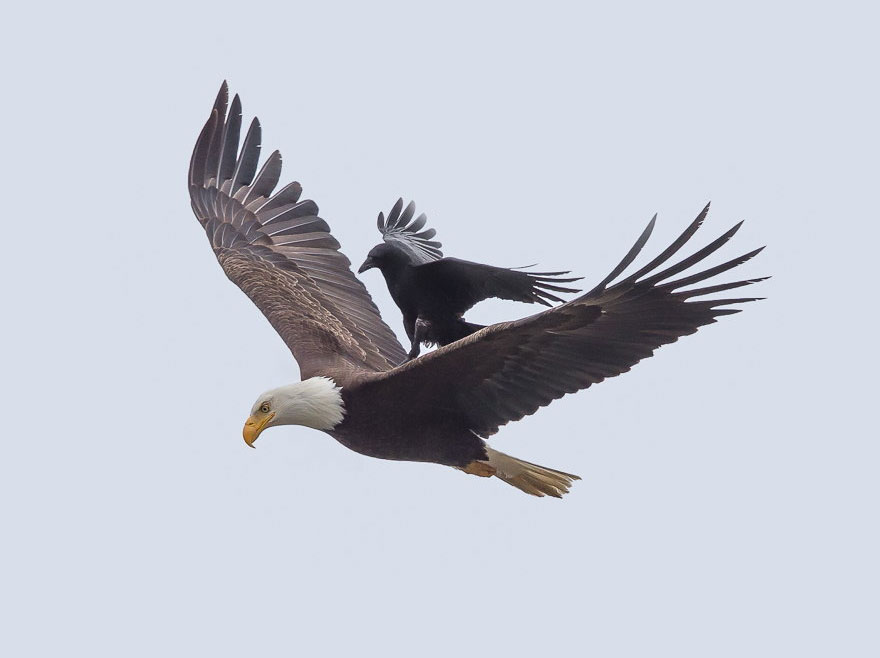 Photographer Phoo Chan captured this spectacular image last year near Kitsap, Washington. It shows a crow riding atop a bald eagle and the whole series is mesmerizing. (via Colossal, and everywhere else on the internet)
