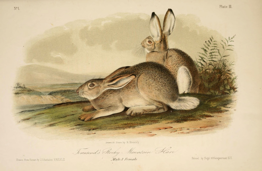 """""""Townsend's Rocky Mountain Hare"""" in John James Audubon's 'The Quadrupeds of North America' (1851-54) (via Biodiversity Heritage Library/Flickr)"""