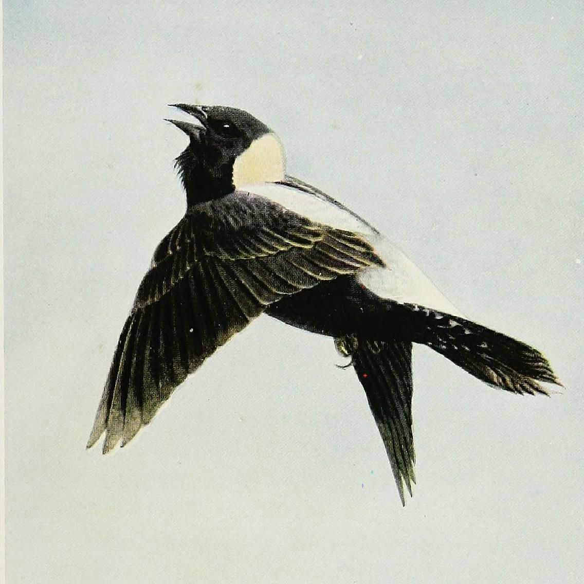 """A flying bobolink in """"The Burgess Bird Book for Children"""" (1919) (via Internet Archive Book Images/Flickr)"""