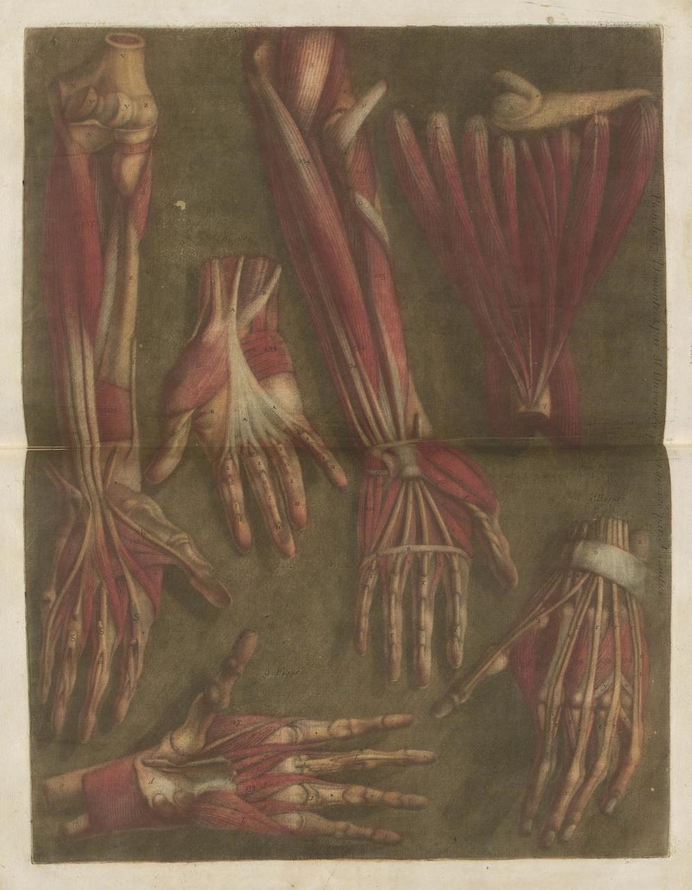"""Jacques Gautier-D'Agoty, """"Myologie Complette en Couleur"""" (1746)"""