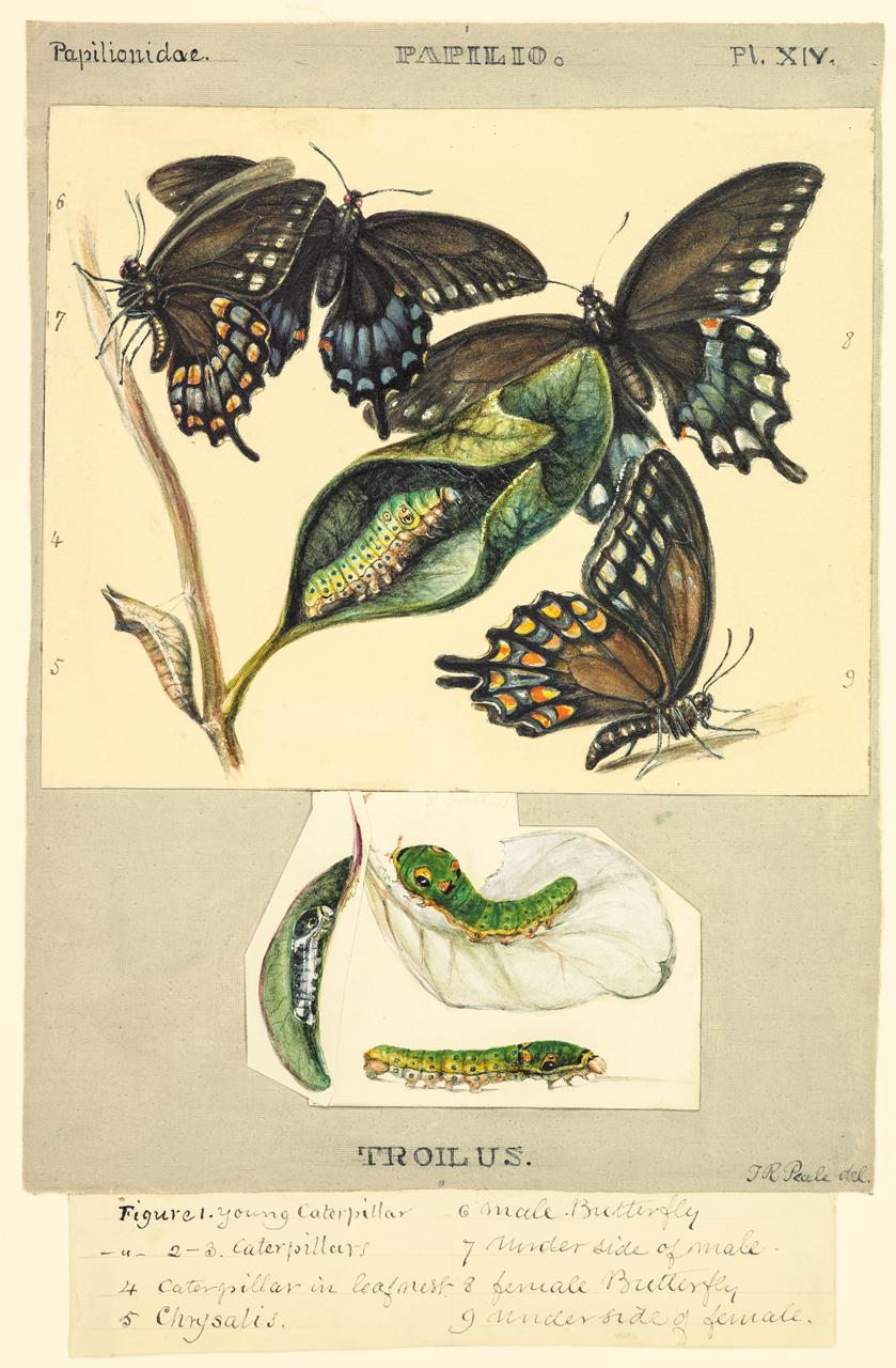 Plate XIV: The Spicebush Swallowtail
