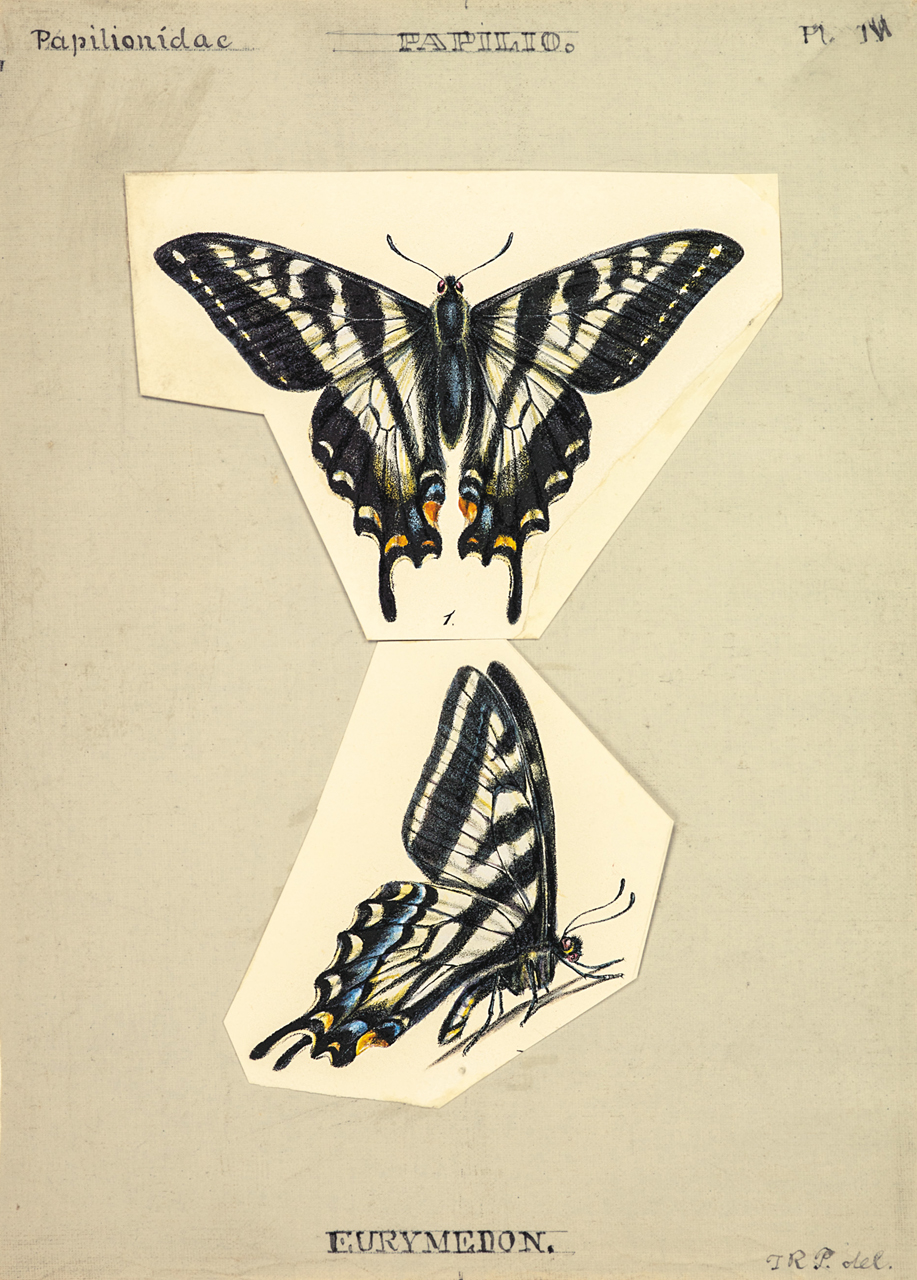 Plate IV: The Pallid Tiger Swallowtail