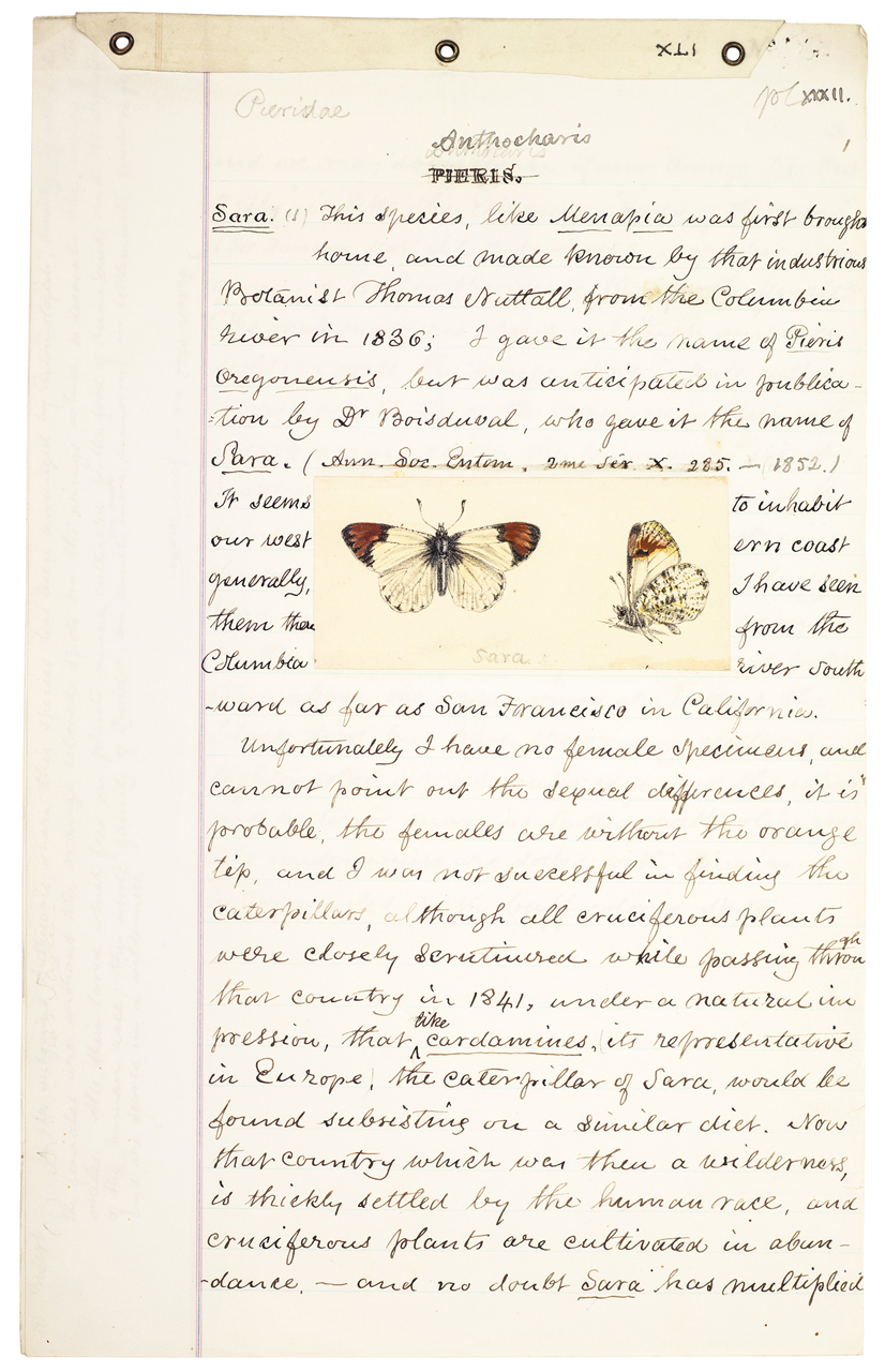 Manuscript and color study for Plate XXXII on the Pine White