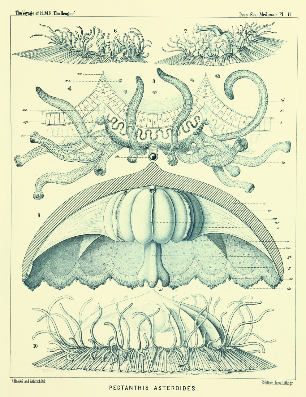 Art Forms from the Abyss: Ernst Haeckel's Images From The HMS Challenger Expedition