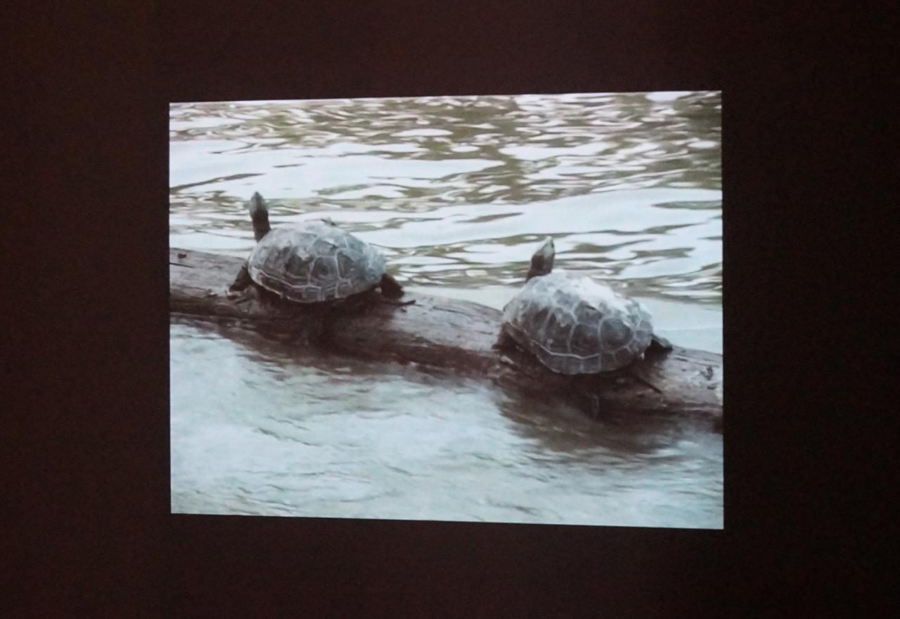 Two of Allora & Calzadilla's turtles