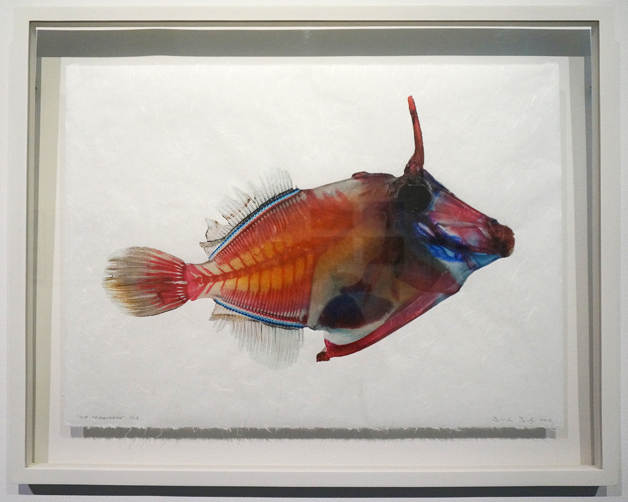 "Brandon Ballengée, ""Ghosts of the Gulf: RIP Triggerfish"" (2014), digital C-print on handmade Japanese rice paper, 18x 24 in"