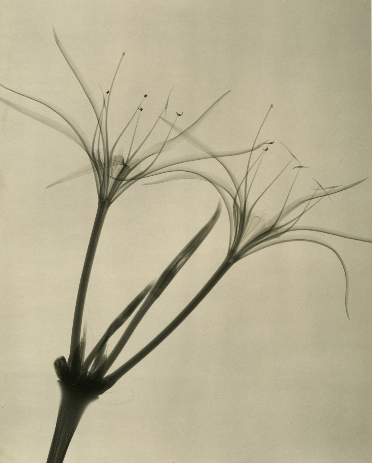 A Radiologists X Ray Photographs Of Flowers From The 1930s